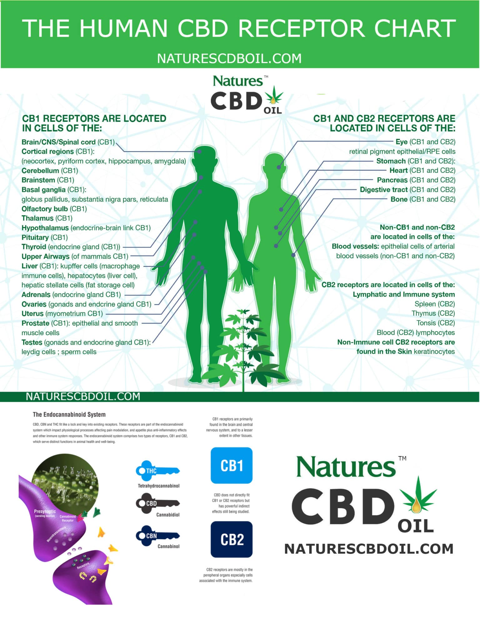 The Human Cbd Cb1 And Cb2 Receptor Chart